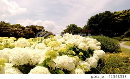 ハイドランジアアナベルというアジサイの白い花と青い空 41548553