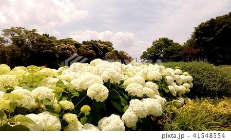 ハイドランジアアナベルというアジサイの白い花と青い空 41548554