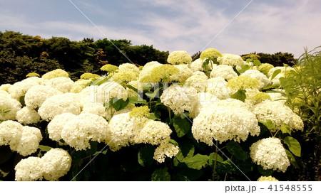 ハイドランジアアナベルというアジサイの白い花と青い空 41548555
