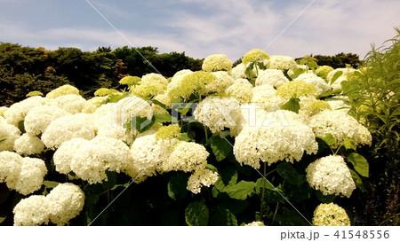 ハイドランジアアナベルというアジサイの白い花と青い空 41548556