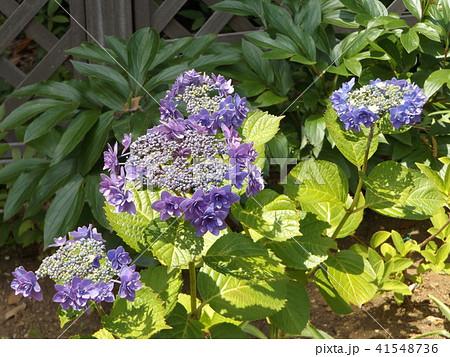 夏を彩る青いガクアジサイの花 41548736