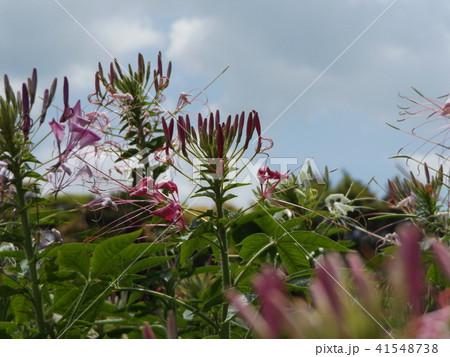 酔蝶花と呼ばれるクレオメの紫色の花 41548738