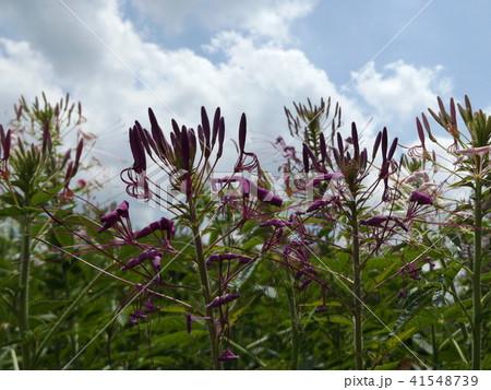 酔蝶花と呼ばれるクレオメの紫色の花 41548739