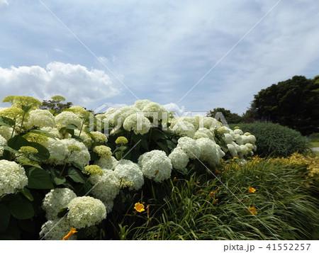 ハイドランジアアナベルというアジサイの白い花と青い空 41552257