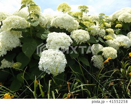 ハイドランジアアナベルというアジサイの白い花と青い空 41552258