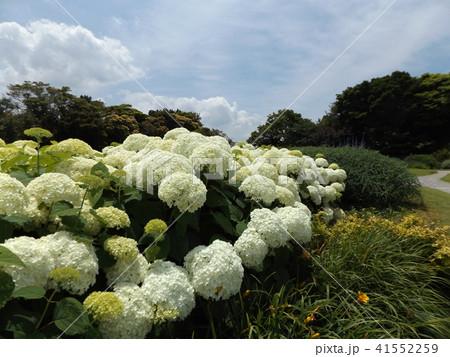 ハイドランジアアナベルというアジサイの白い花と青い空 41552259