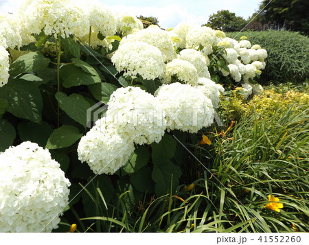 ハイドランジアアナベルというアジサイの白い花 41552260
