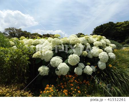 ハイドランジアアナベルというアジサイの白い花と青い空 41552261