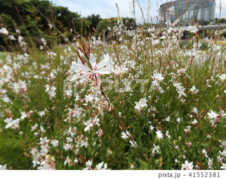 蝶のような形の白い花ガウラ 41552381