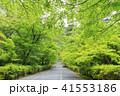 京都・二尊院・紅葉の馬場・青もみじ 41553186