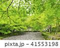 京都・二尊院・紅葉の馬場・青もみじ 41553198
