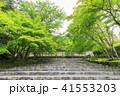 京都・二尊院・紅葉の馬場・青もみじ 41553203