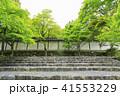 京都・二尊院・紅葉の馬場・青もみじ 41553229