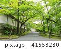 京都・二尊院・紅葉の馬場・青もみじ 41553230