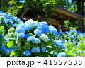 紫陽花 あじさい寺 雲昌寺の写真 41557535