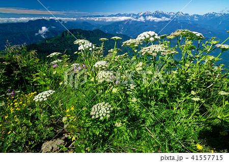 雨飾山山頂の高山植物と白馬連峰の眺め 41557715