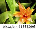 熱帯植物 グズマニア 41558096
