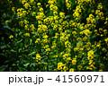 花 菜の花 ナバナの写真 41560971