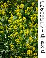 花 菜の花 ナバナの写真 41560973