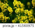 花 菜の花 ナバナの写真 41560975