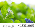 紫陽花 花 植物の写真 41561005