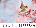 桜 メジロ オカメザクラの写真 41565349