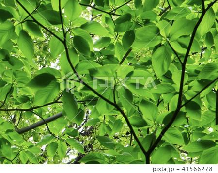 春の緑 41566278