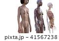 筋肉 骨格 解剖のイラスト 41567238