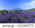 富士山 ラベンダー 41569775