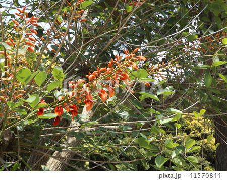 夏の花にぴったり。情熱の赤い花アメリカデイゴの花と蕾 41570844