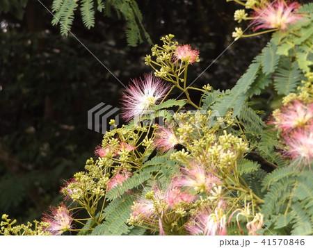 ネムノキの花の写真が撮れました 41570846