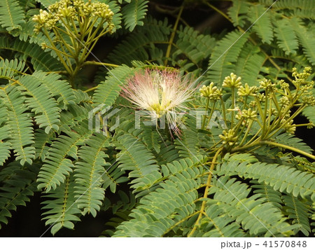 ネムノキの花の写真が撮れました 41570848