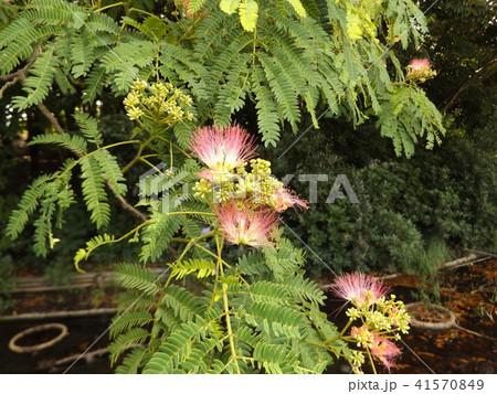 ネムノキの花の写真が撮れました 41570849
