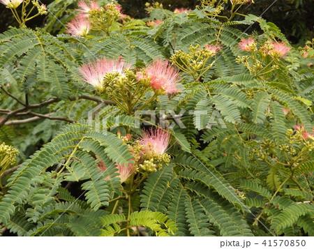 ネムノキの花の写真が撮れました 41570850