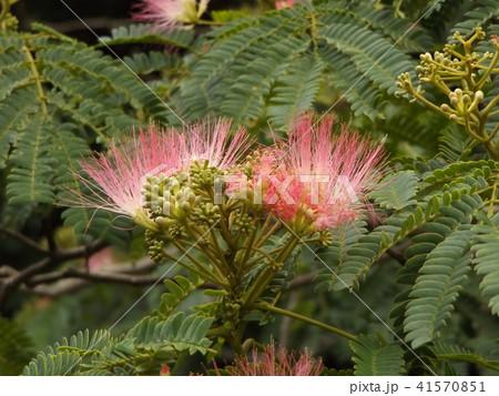 ネムノキの花の写真が撮れました 41570851