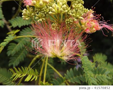 ネムノキの花の写真が撮れました 41570852