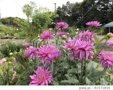 セミカクタスダリアの桃色の花 41571650