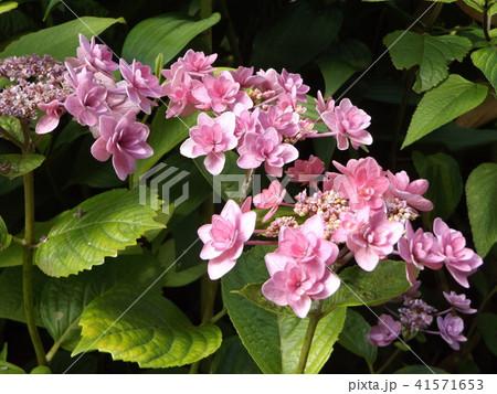 夏を彩る桃色のガクアジサイの花 41571653