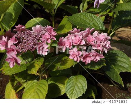 夏を彩る桃色のガクアジサイの花 41571655