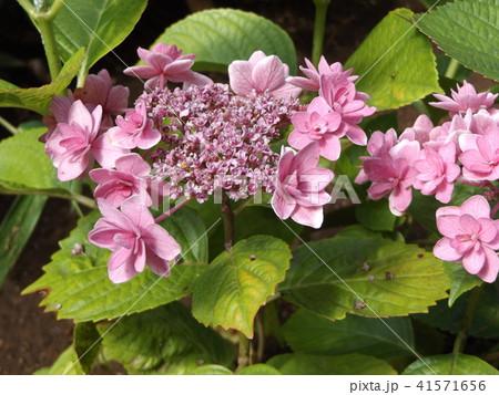 夏を彩る桃色のガクアジサイの花 41571656