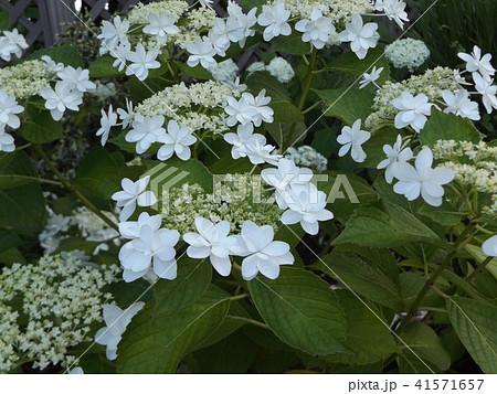 夏を彩る空色のガクアジサイの花 41571657