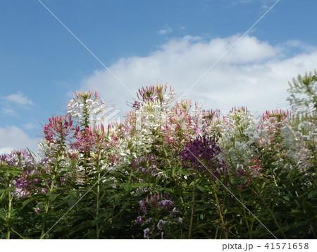 酔蝶花と呼ばれるクレオメの白と桃色の花 41571658