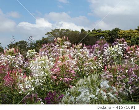 酔蝶花と呼ばれるクレオメの白と桃色の花 41571691