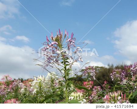 酔蝶花と呼ばれるクレオメの白と桃色の花 41571694