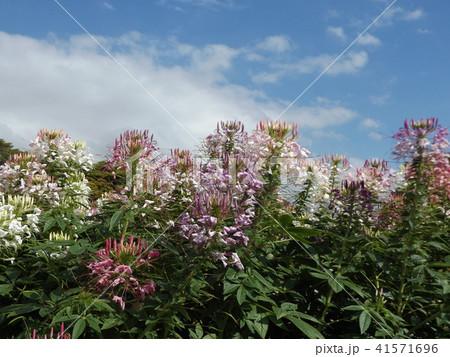 酔蝶花と呼ばれるクレオメの白と桃色の花 41571696