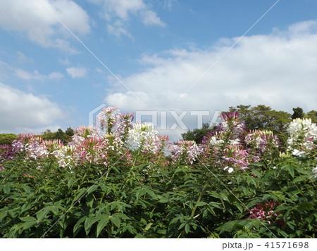 酔蝶花と呼ばれるクレオメの白と桃色の花 41571698
