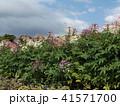 酔蝶花と呼ばれるクレオメの白と桃色の花 41571700