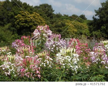酔蝶花と呼ばれるクレオメの白と桃色の花 41571702