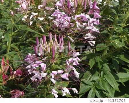 酔蝶花と呼ばれるクレオメの桃色の花 41571705