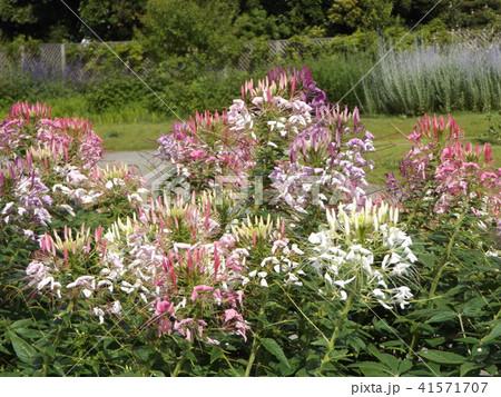 酔蝶花と呼ばれるクレオメの白と桃色の花 41571707
